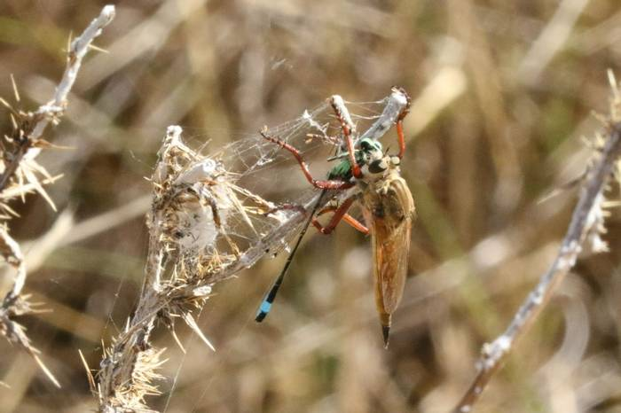 Robber Fly feeding on Island Bluetail Damselfly (Brian West)