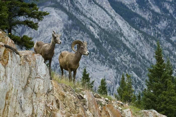 Bighorn Sheep, Canada shutterstock_95279317.jpg