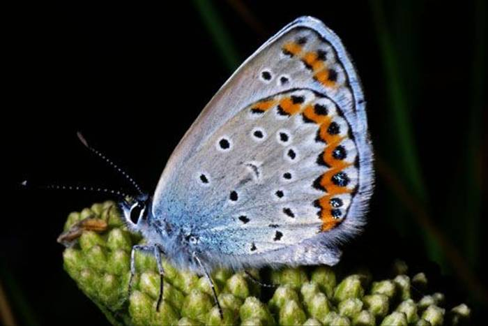 Silver-studded Blue (Tony Daniels)