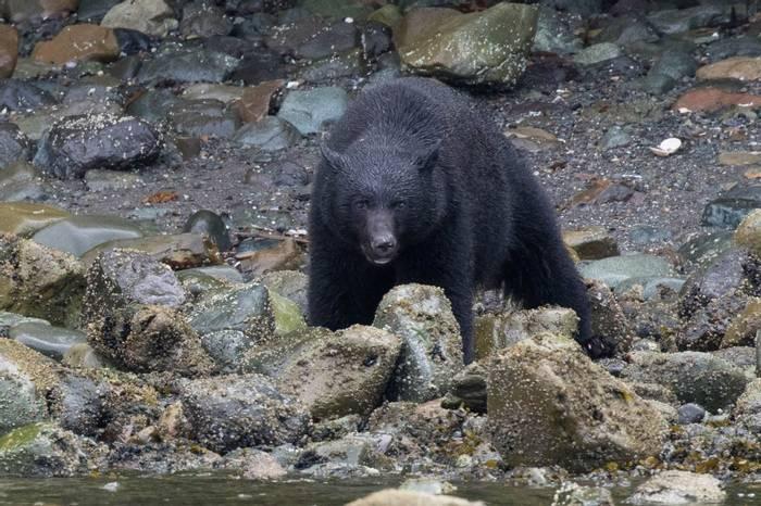 Black Bear (Chris Hutchinson)