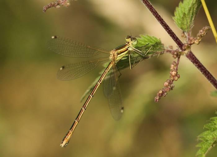 Southern Emerald Damselfly (Marc Heath).jpg