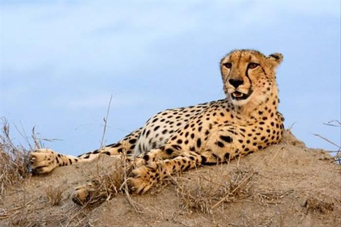 Cheetah (Leon Marais)
