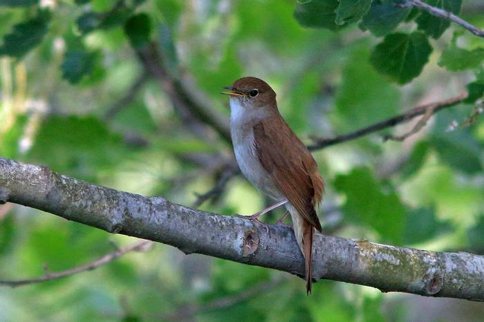 Nightingale (R. Davidson)