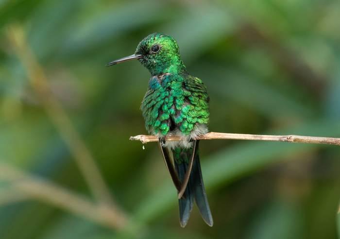 Puerto Rican Emerald shutterstock_1293078532.jpg