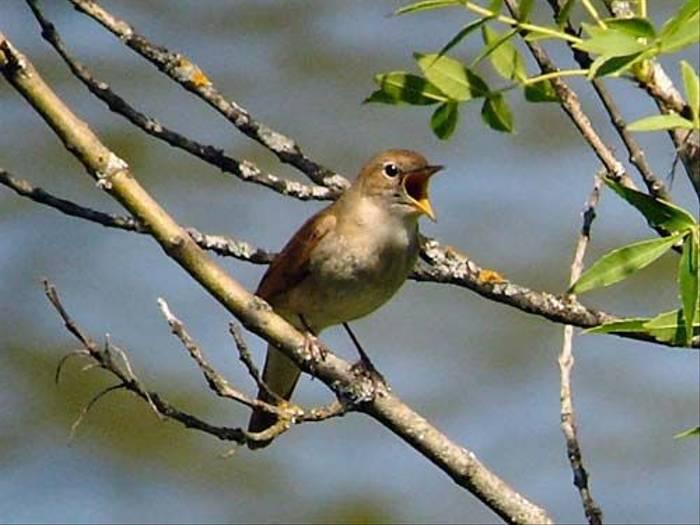 Nightingale (Peter Dunn)