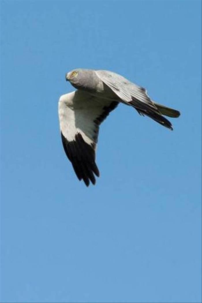 Hen Harrier (Paul Marshall)