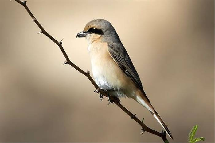 Isabelline Shrike (Chris-Ward)