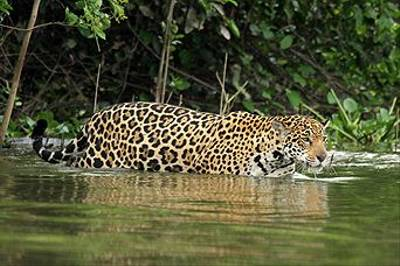 Jaguar by Andrew Lapworth