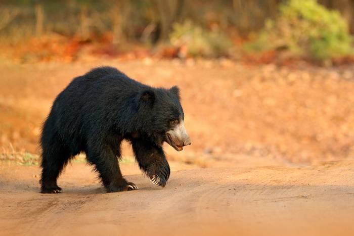Sloth Bear, Ranthambhore National Park, India shutterstock_755720986.jpg