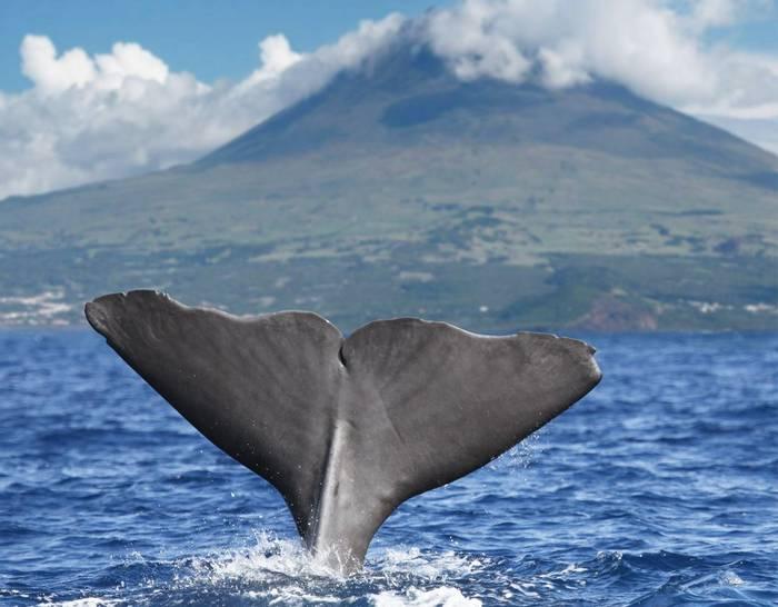 Sperm Whale, Pico, Azores Shutterstock 133842761