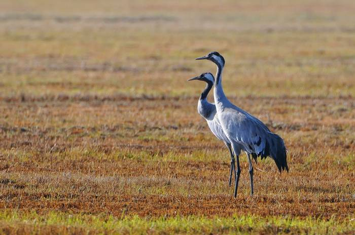 Common Cranes, Poland Shutterstock 1084127207