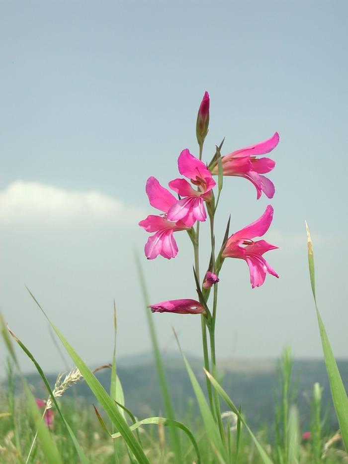 Gladiolus italicus shutterstock_1257431209.jpg
