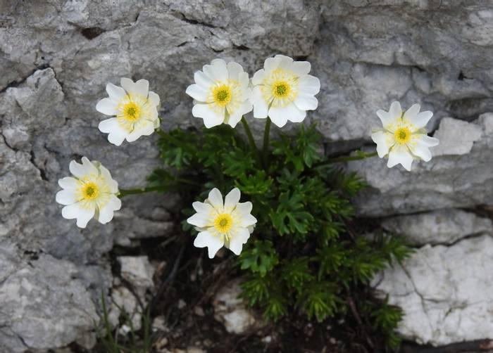 DSCN9965 Ranunculus Traunfellneri