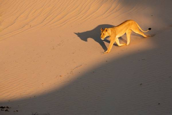Lion, Skeleton Coast, Namibia Shutterstock 1131668381