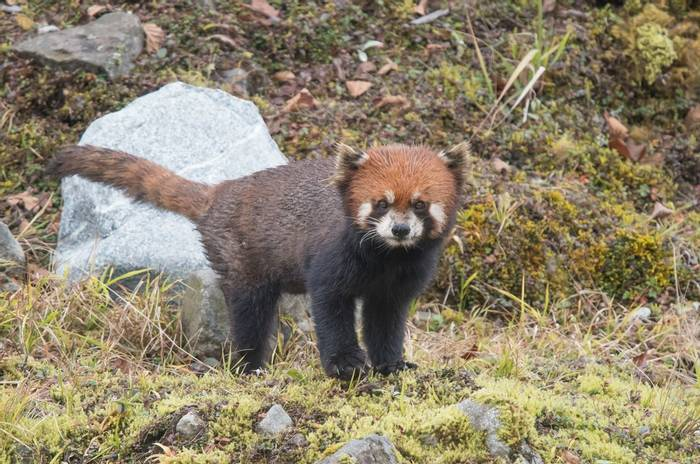 Red Panda (Tim Melling) (2)
