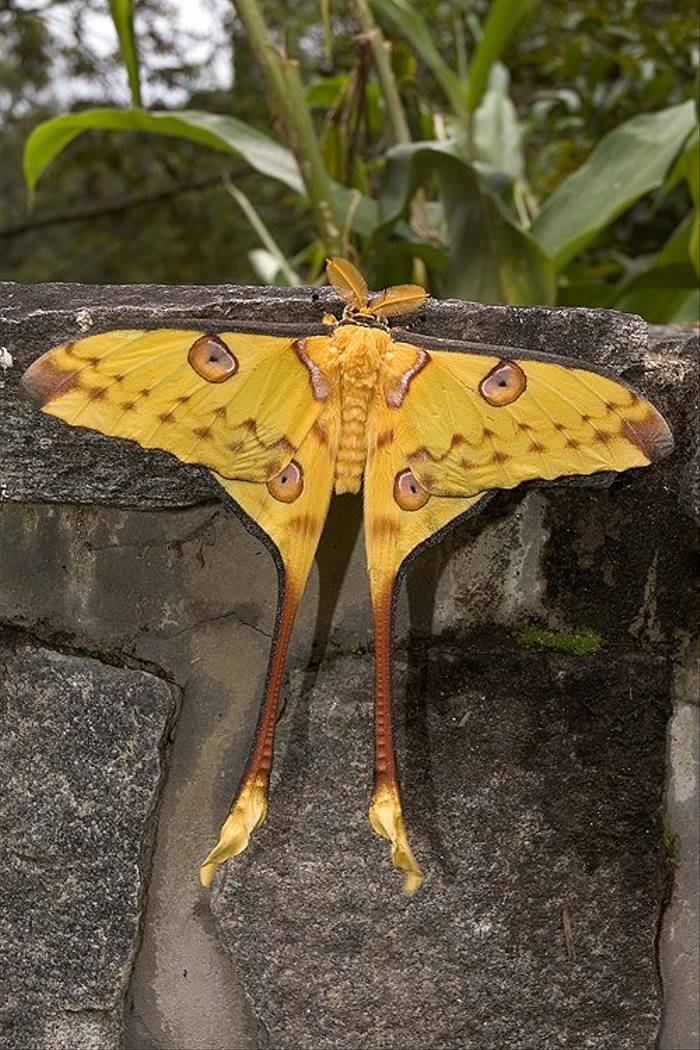 Comet Moth (Paul Stanbury)