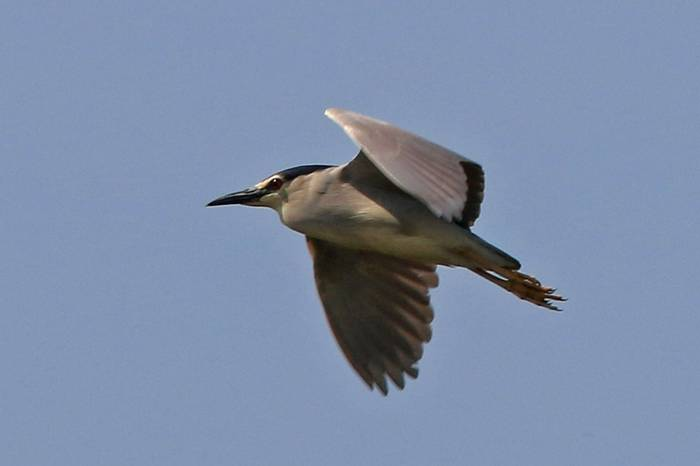 Black-crowned Night Heron (R. Davidson)