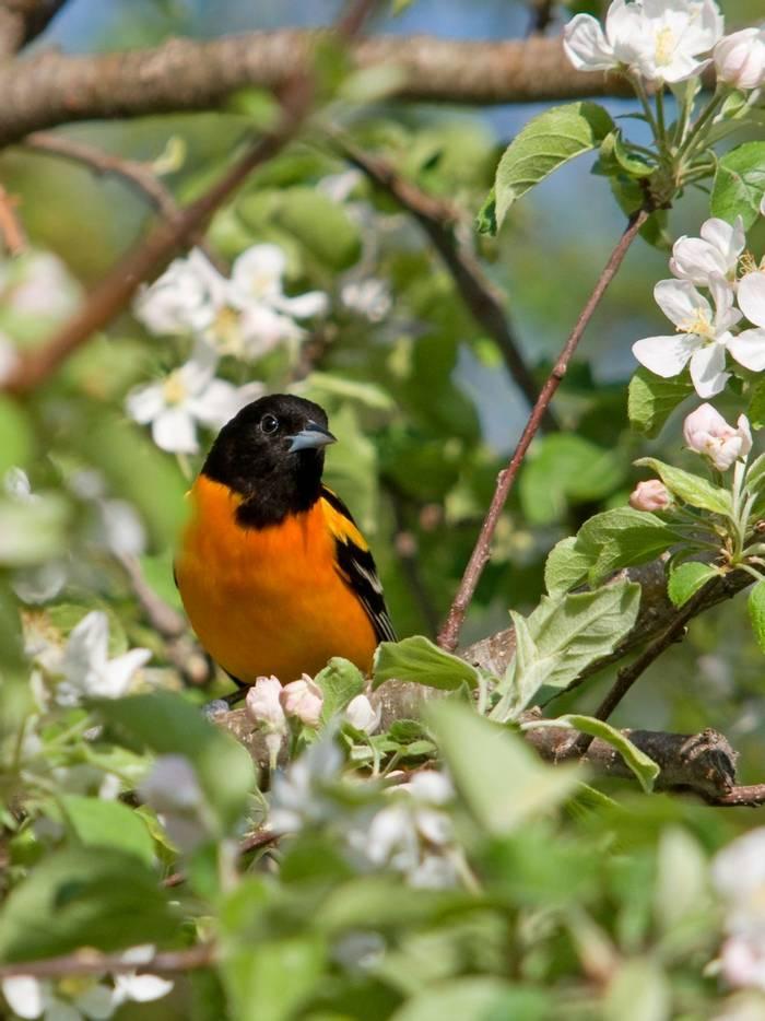 Baltimore Oriole, North America (Gerald A. DeBoer) (2)