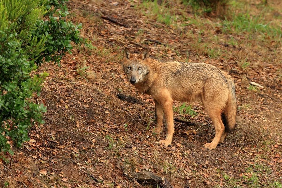 Iberian Wolf (Bret Charman)
