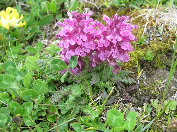 Pedicularis verticillata (Steph Warburton)