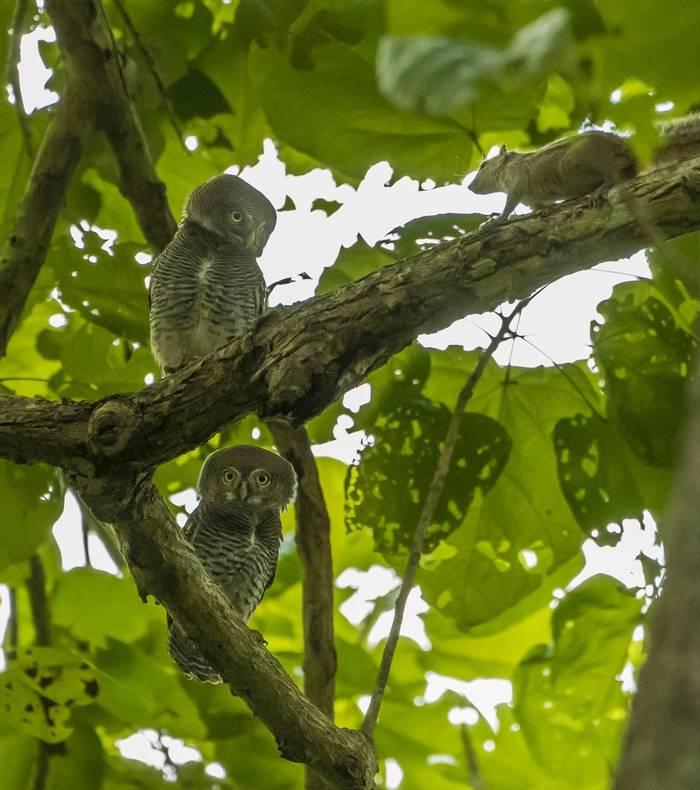 Jungle Owlets (John Archer Thomson)