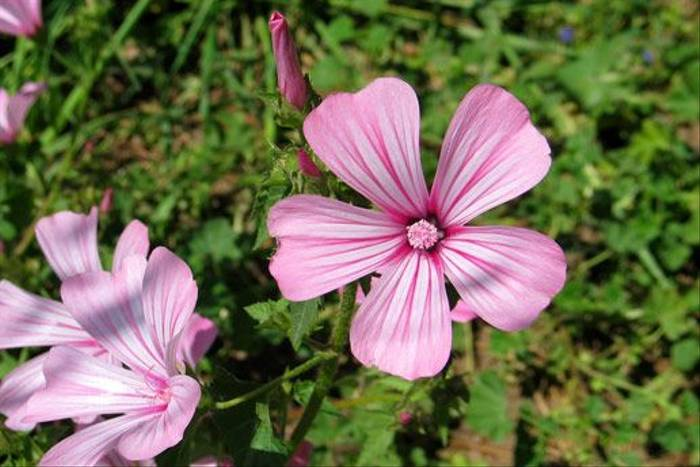 Annual Mallow, Lavatera trimestris (Paul Harmes)