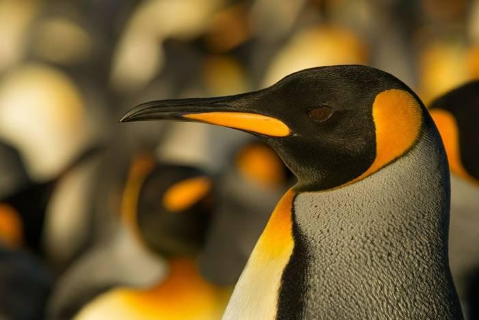 King penguin shutterstock_270709172.jpg
