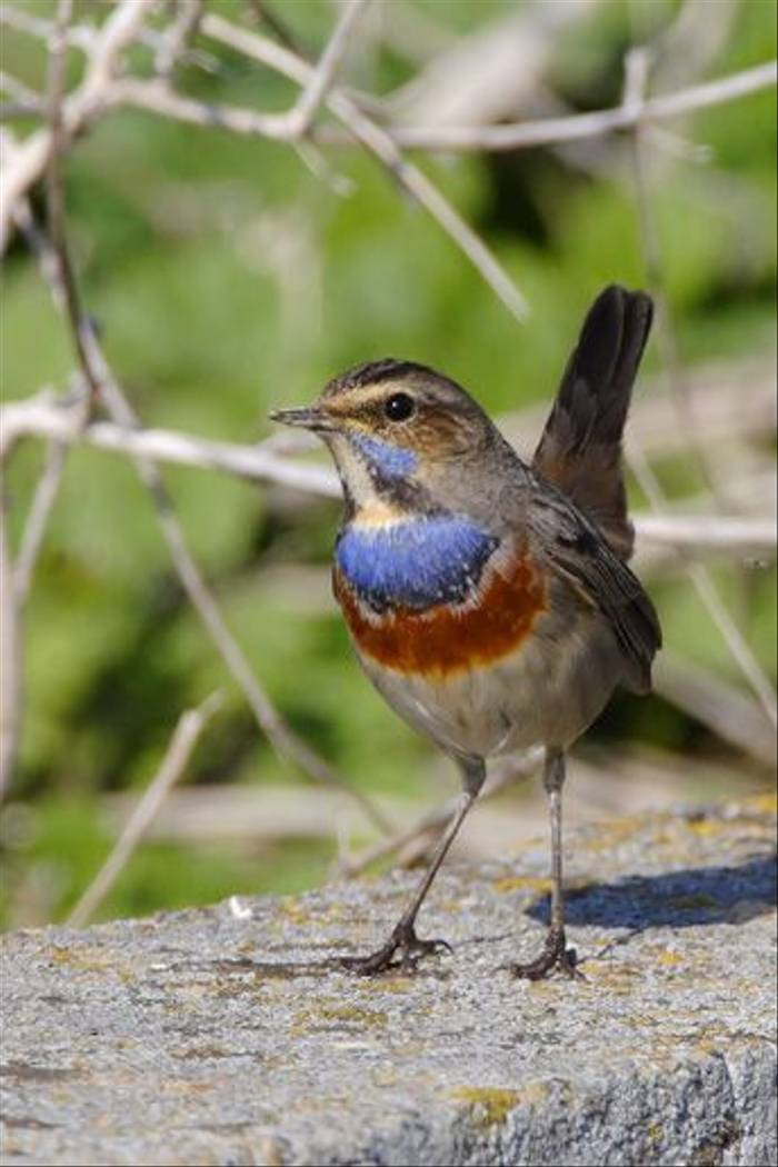 Bluethroat (Steve Fletcher)
