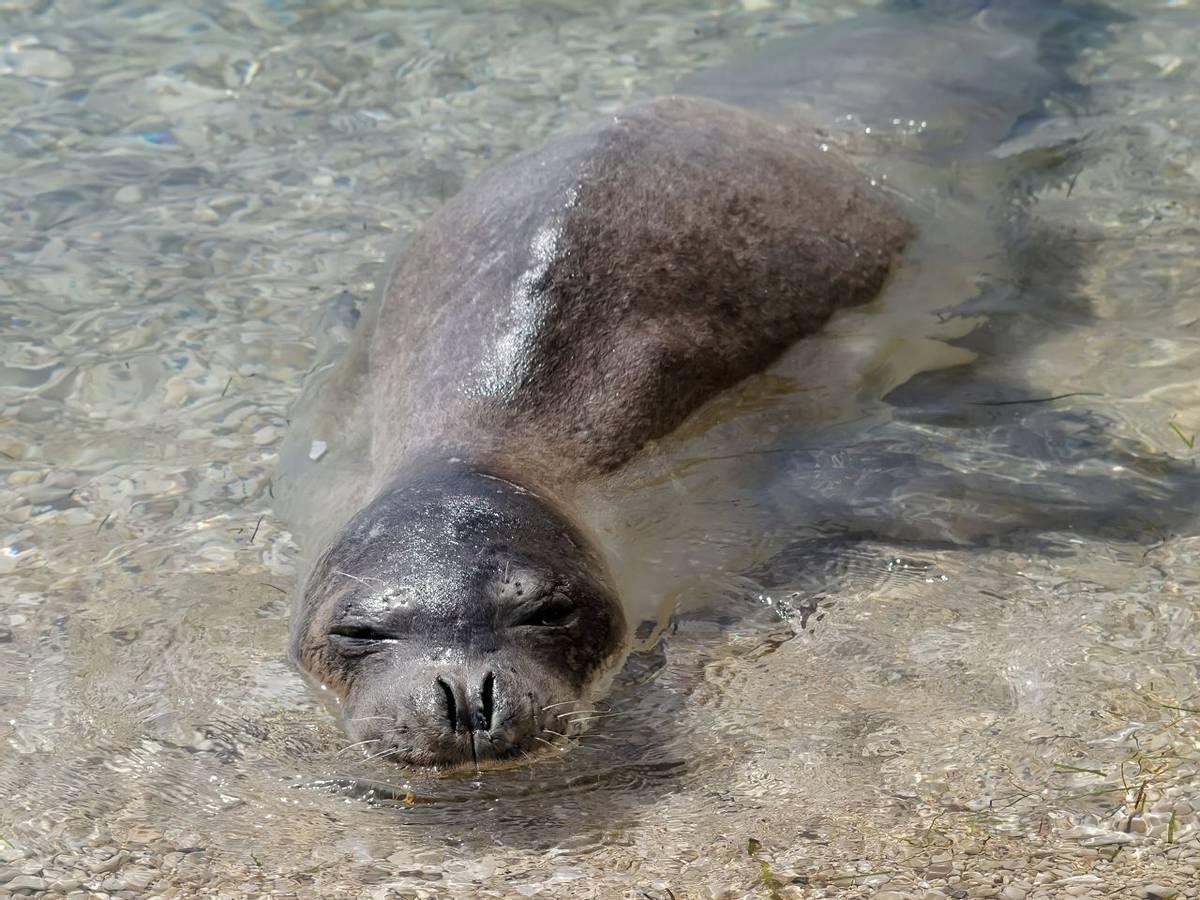 Mediterranean Monk Seal Shutterstock 376063714