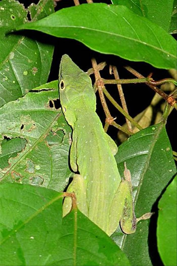 Lizard sp. (Kiera Griffin)