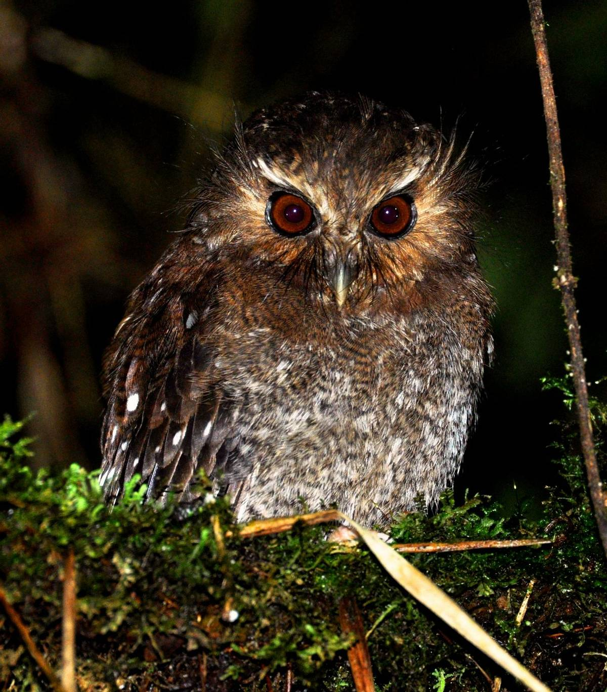 Long Whikered Owlet (Alex durand Torres)