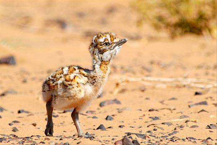 Houbara Bustard chick (James Lees)