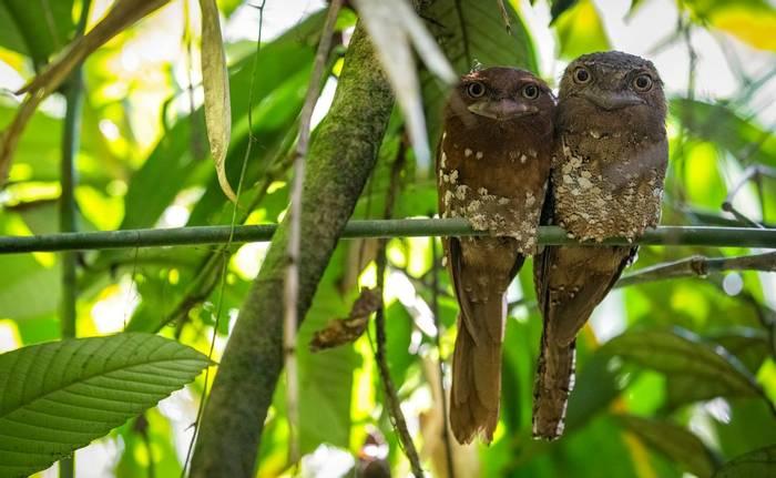 Sri Lankan Frogmouths, Sinharaja Rainforest, Sri Lanka shutterstock_1229577046.jpg