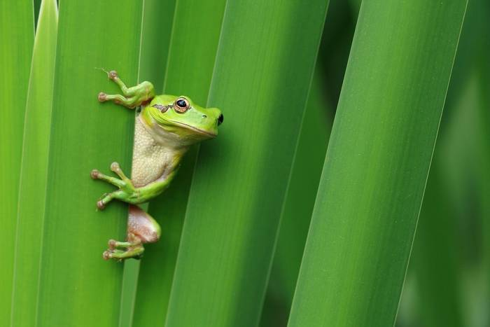 Mediterranean tree frog, France, Spain, Portugal, shutterstock_415810486.jpg