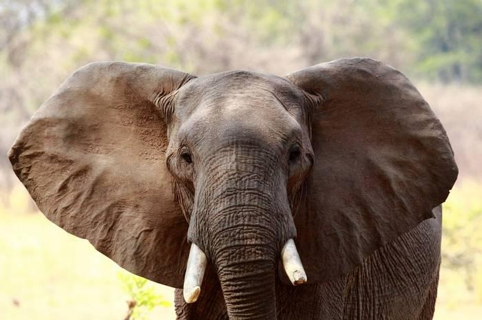 Elephant (Nick Scarle)