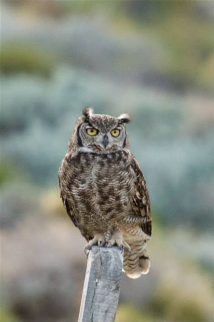 Magellan Horned Owl (David Allen)