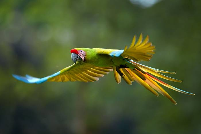 Great Green Macaw Shutterstock 786440446