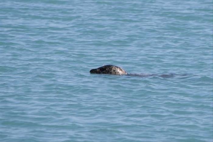 Common Seal, Jokulsarlon (Kerrie Warburton)