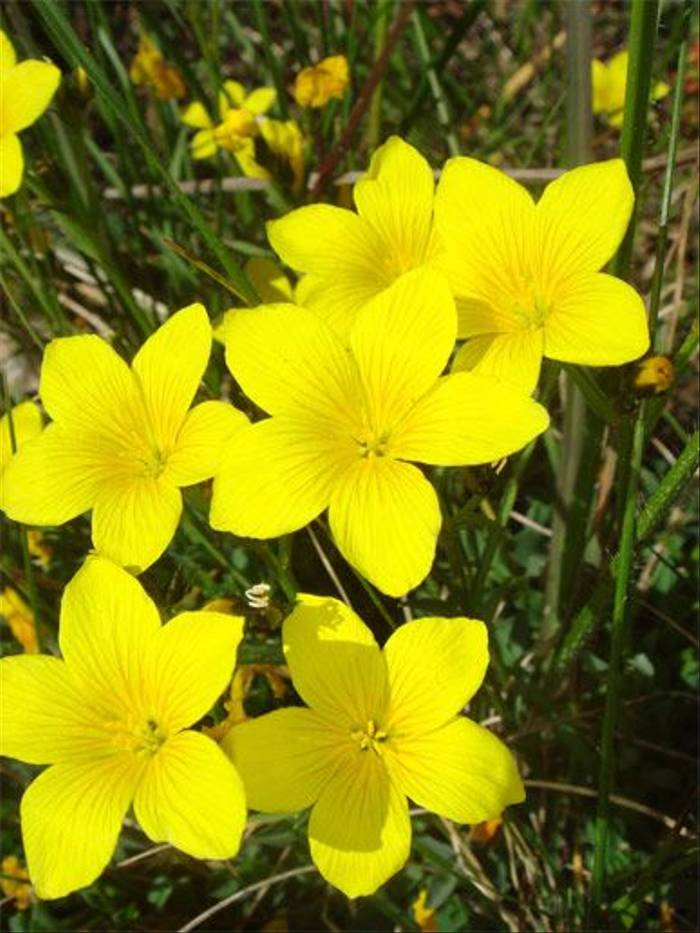 Linum campanulatum (John and Jenny Willsher)