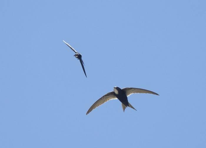 White Rumped Swifts, Spain Shutterstock 533198389