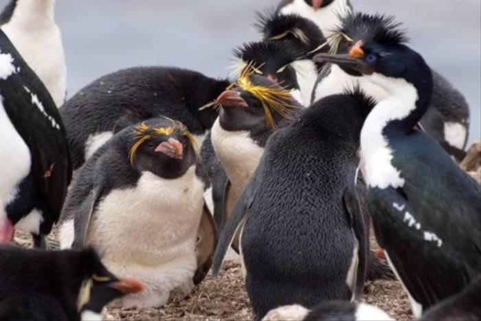 Macaroni & Rockhopper Penguins (Peter Nichols)