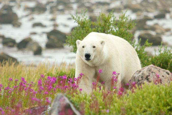 Polar Bear, Manitoba shutterstock_153113402.jpg