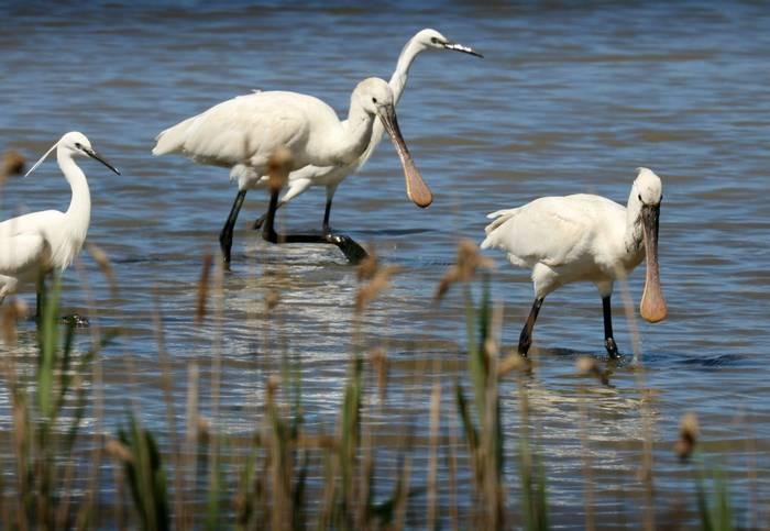 Spoonbills & Little Egrets (Jim Higham)