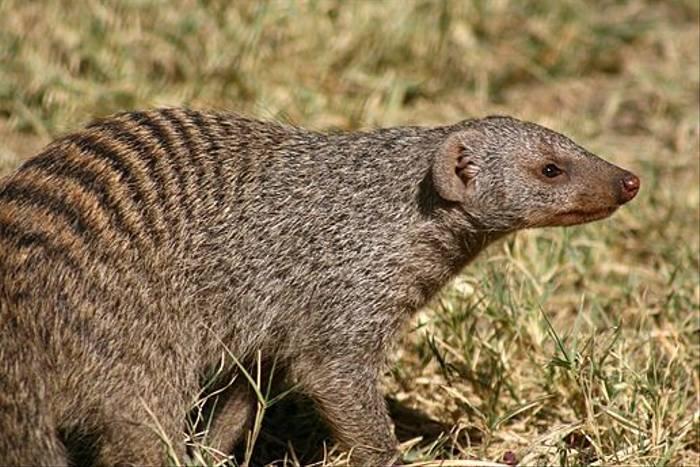 Banded Mongoose (Bret Charman)