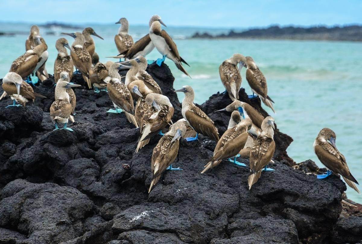 Blue Footed Boobies, Ecuador & The Galapagos Shutterstock 539405503