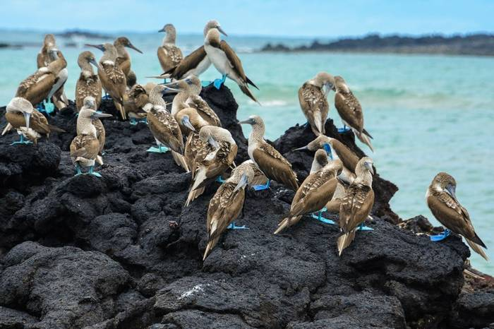Blue Footed Boobies, Ecuador & The Galapagos Shutterstock 539405503