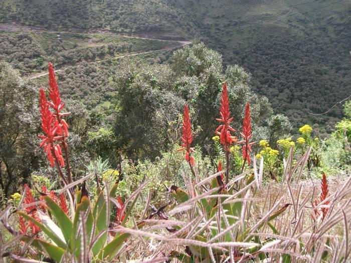 Aloe Macrocarpa With Erica Arborea Simen (3)