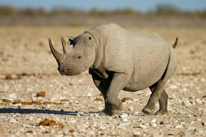 Black Rhino Shutterstock 506571865