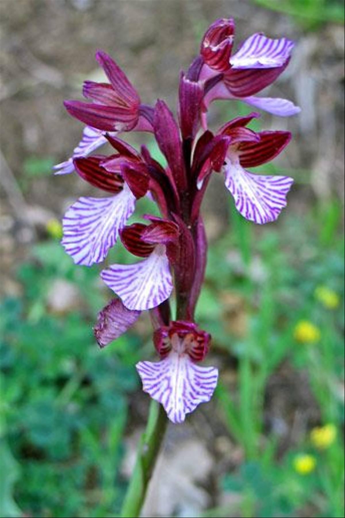 Pink Butterfly Orchid, Orchis papilonacea (Paul Harmes)