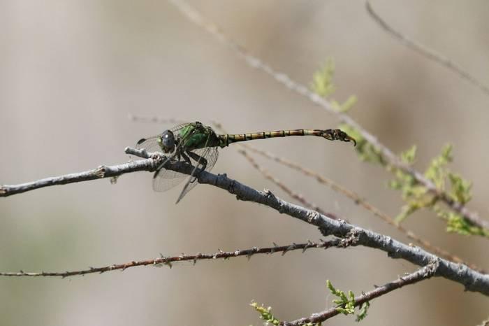 Green Hooktail (Brian West)
